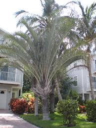 Tree For Home Decoration Outdoor U0026 Garden Cute Robellini Palm Tree For Beautiful Garden