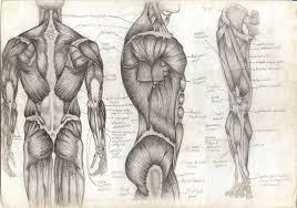 musculoskeletal u2014 nuem blog