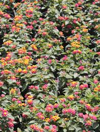 Late Blooming Perennials Try Dwarf Lantana For A Summer And Fall Blooming Perennial