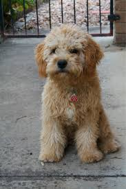 haircutsfordogs poodlemix luv luv this dog poodle pinterest cavapoo king charles and
