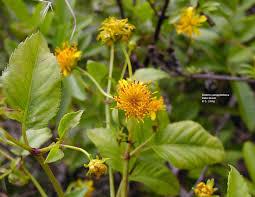 hawaii native plants hawaiian native plants uh botany