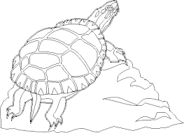 box turtle coloring coloring book entry eastern box