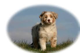 corgi x australian shepherd pups