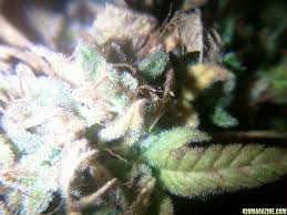 bunkermonkey u0027s soil elephant bud u0026 vanilla kush grow journal 2014