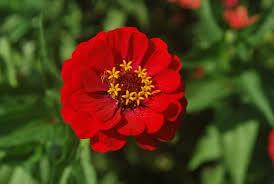 Zinnia Flower Zinnia Flower Images Free Stock Photos Download 11 055 Free Stock