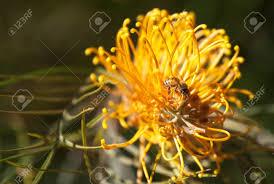 native australian flowering plants honey bee apis mellifera pollination of a native australian