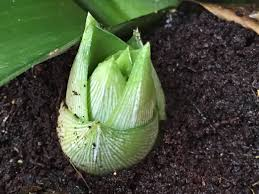pineapple plant producing babies youtube