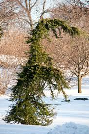 benenson ornamental conifers archives plant talk