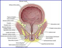 Male Anatomy Perineum Duke Anatomy Lab 9 Pelvic Contents
