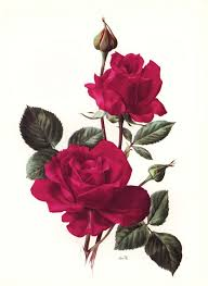 Picture Of Roses Flowers - best 25 rose art ideas only on pinterest watercolor rose art