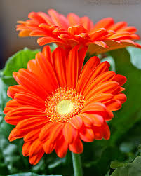 Pretty Orange Bright Orange Gerber Daisies Fine Art Photograph Flower