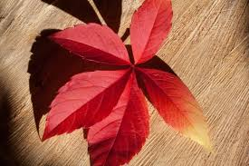 free images plant petal red colorful yellow flora maple