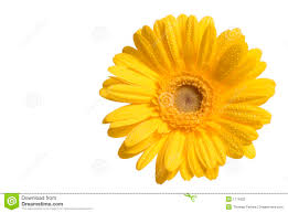 Yellow Flower - yellow flower stock photography image 1774302
