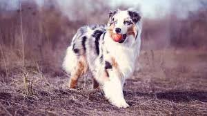 images of australian shepherd how to trim australian shepherds
