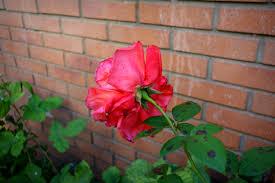 Urban Wall Garden - free images flower petal bloom love romantic wedding flora
