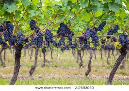 grape tree stock images royalty free images vectors