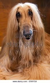 afghan hound hairstyles afghan hound at crufts stock photos u0026 afghan hound at crufts stock