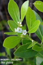 plants native to florida inkberry gallberry ilex glabra what florida native plant is