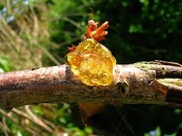 file gummosis on an ornamental cherry jpg wikimedia commons