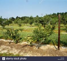 high density trellised apple orchard of up to 1 000 trees per acre