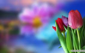 Beautiful Flowers Colorful Tulips Beautiful Flower Wallpaper Hd Download