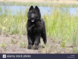 belgian sheepdog laekenois a groenendael belgian shepherd dog puppy stock photo royalty free