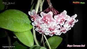 hoya carnosa red fazza hoya nursery hoyaindonesia 031016 youtube
