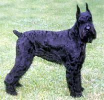 belgian sheepdog on petfinder adopt a giant schnauzer dog breeds petfinder