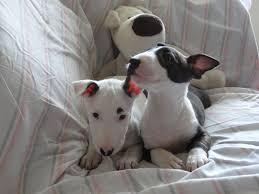 bull terrier puppies puppies photos dog photos