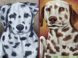 4 ways identify dalmatian wikihow