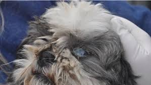 affenpinscher missouri humane society many pet stores get dogs from puppy mills
