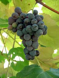 concord bunch grape vine ison u0027s nursery u0026 vineyard