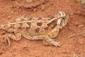 Horny Toad Meme - horned lizard drawing at getdrawings com free for personal use