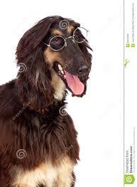 afghan hound dog images arabian hound dog with glasses royalty free stock image image