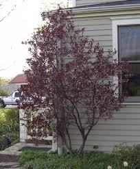 Fragrant Patio Plants - cistena plum 7 x 7 well known for its fragrant pink flowers