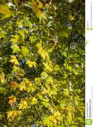 plain tree leaves stock photo image of forest 28825444