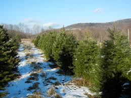 Road Map Of Upstate New York by Robson U0027s Christmas Trees Upstate New York