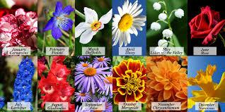 Birth Flowers By Month - 100 november birth flower the chrysanthemum june birth