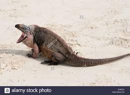 Iguana Island Allens Cay Iguana Cyclura Cychlura Inornata Caribbean Exuma Island