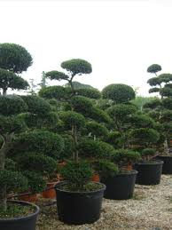 Topiary Cloud Trees - cloud tree bonsai ilex crenata kimnei 235cm 7ft 10in including