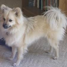 dog breed pomeranian mix breed dogs picture