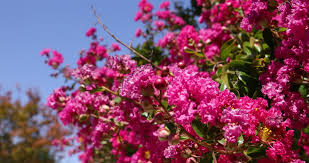 Trees With Pink Flowers Pink Flowers With Green Trees In The Morning The Weather Is