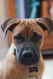 american pit bull terrier lab mix best 25 boxer lab mixes ideas on pinterest pitbull boxer mix
