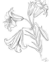 tiger lily coloring pages u0026 pictures imagixs line art