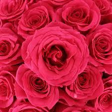 hot pink roses hot pink