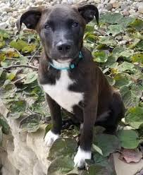 american pitbull terrier breeders st louis stray rescue of st louis animals for adoption