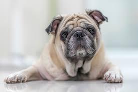 understanding bumps and cysts on pet u0027s skin petmeds pet health blog
