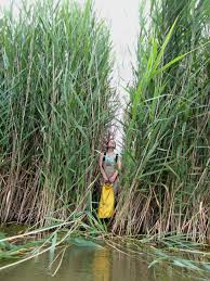 native plants of michigan phragmites home satellite data helps map the spread of an