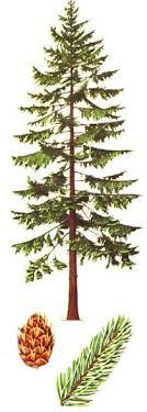 douglas fir tree drawing search tattoos
