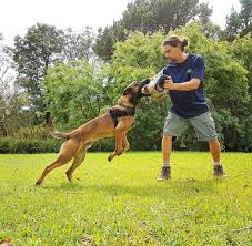 belgian shepherd sydney western sydney parklands solve your dog dilemmas with free